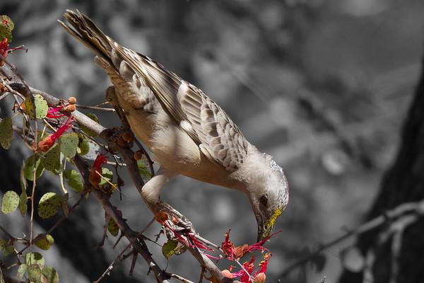 Great Bowerbird (Chlamydera nuchalis) - Bullwaddy, Northern Territory