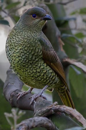 Satin Bowerbird (Ptilinorhynchus violaceus) - Melbourne Zoo, Victoria