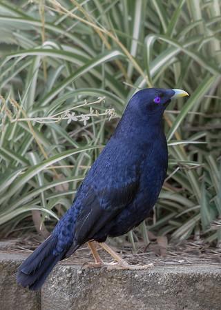 Satin Bowerbird - Male (Ptilinorhynchus violaceus) - Chum Creek, Victoria