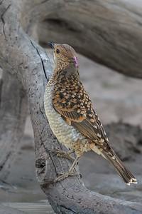 Spotted Bowerbird (Chlamydera maculata) - Bowra (Cunnumulla), Queensland