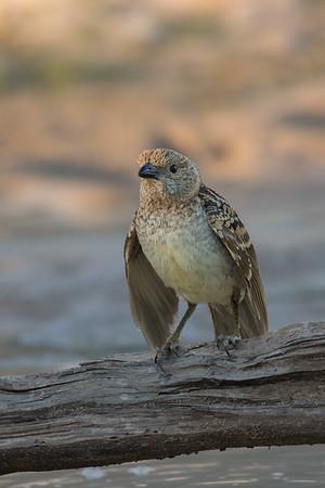Spotted Bowerbird (Chlamydera maculata) - Cunnumulla, Queensland