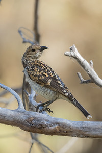 Spotted Bowerbird (Chlamydera maculata) - Clem Walton Reserve (Cloncurry), Queensland