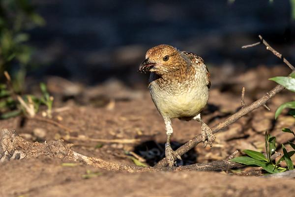 Spotted Bowerbird (Chlamydera maculata) - Bowra (Cunnamulla), Queensland