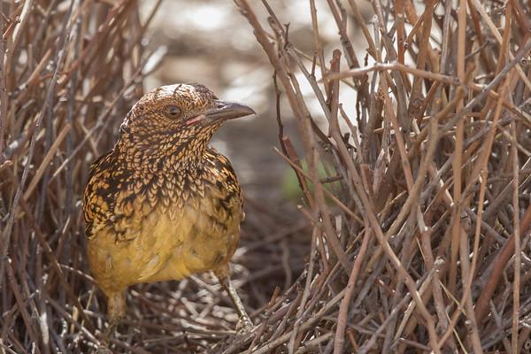 Western Bowerbird (Chlamydera guttata) - Alice Springs, Northern Territory