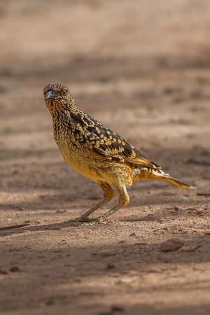 Western Bowerbird (Chlamydera guttata) - Ormiston Gorge, Northern Territory