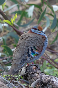 Brush Bronzewing, Male (Phaps elegans) - Cheynes Beach, Western Australia