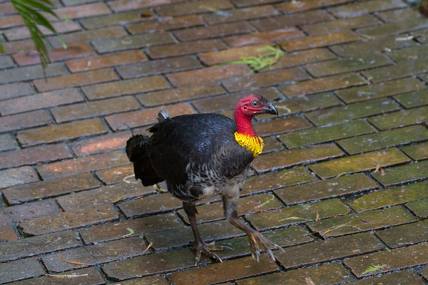Australian Brush-turkey (Alectura lathami) - Mount Glorious, Queensland