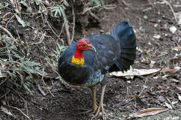 Australian Brush-turkey (Alectura lathami - Mt Hypipamee National Park, Queensland