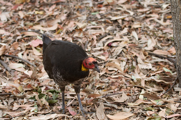Australian Brush-turkey (Alectura lathami) - Cape Pallarenda Conservation Park (Townsville), Queensland