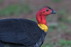 Australian Brush-turkey (Alectura lathami) - Malanda, Queensland