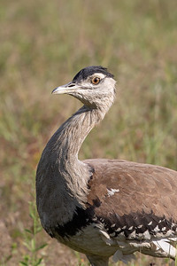 Australian Bustard (Ardeotis australis) - Birds on Barron (Mareeba), Queensland