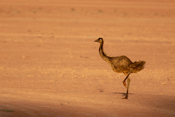 Emu (Dromaius novaehollandiae) - Cobar, New South Wales