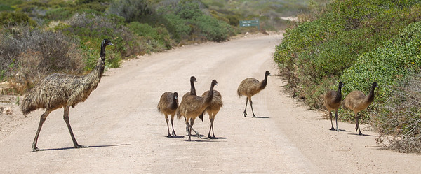 Emu (Dromaius novaehollandiae) - Port Lincoln, South Australia