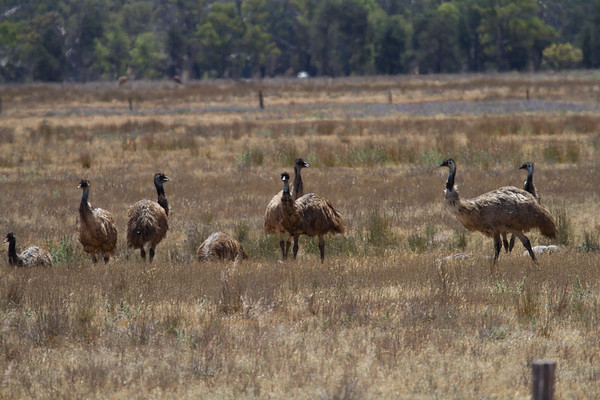 Emu (Dromaius novaehollandiae) - Flinders Ranges, South Australia