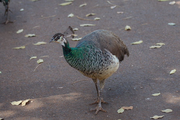 Indian Peafowl (Pavo cristatus) - Elliott, Northern Territory