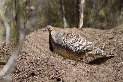 Bustards, Emus and Mound Builders