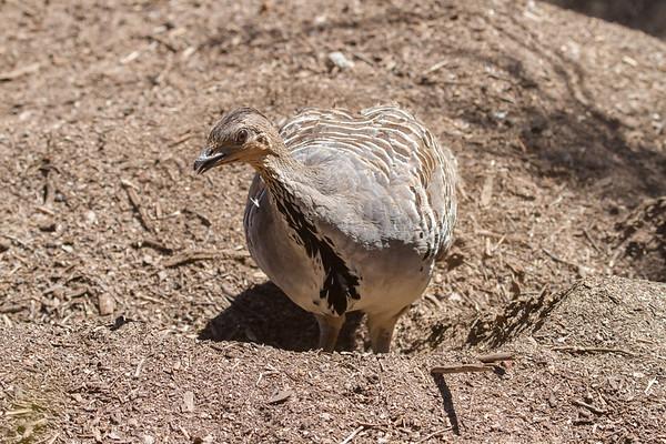 Malleefowl (Leipoa ocellata) - Little Desert, Victoria