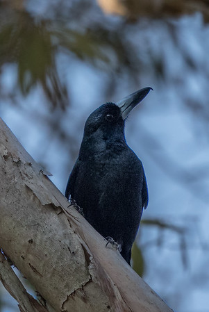 Black Butcherbird (Cracticus quoyi) - Mareeba, Queensland