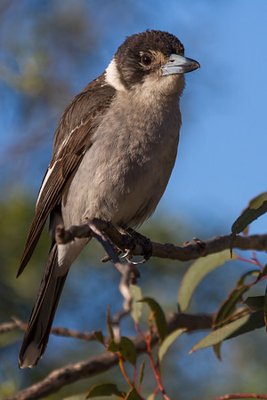 Grey Butcherbird (Cracticus torquatus) - Gluepot, South Australia