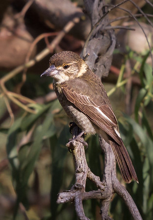 Grey Butcherbird (Cracticus torquatus) - Stony Point, Victoria