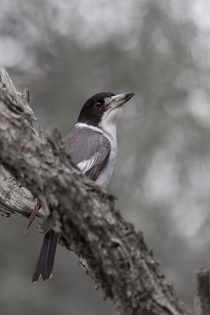 Grey Butcherbird (Cracticus torquatus) - Eulo, Queensland