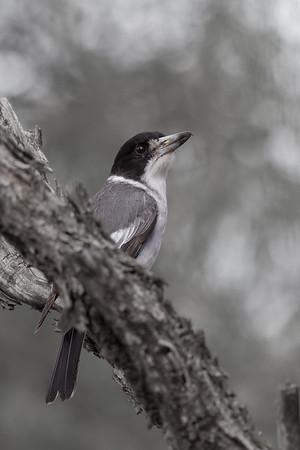 Grey Butcherbird (Cracticus torquatus) - Eulo, Queensland