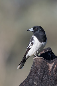 Pied Butcherbird (Cracticus quoyi) - Tambo, Queensland