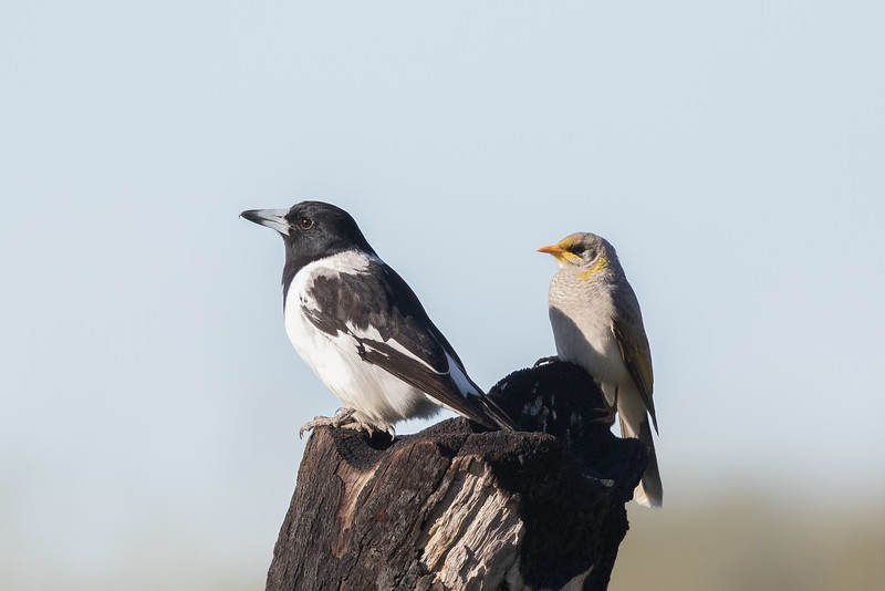 Pied Butcherbird (Cracticus nigrogularis) - Tambo, Queensland