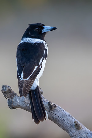Pied Butcherbird, (Cracticus nigrogularis) - Mareeba, Queensland
