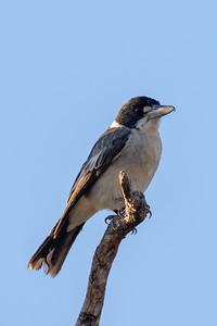Grey Butcherbird (Cracticus torquatus) - Clermont, Queensland