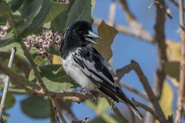 Pied Butcherbird (Cracticus nigrogularis) - Cumberland Dam (Georgetown), Queensland