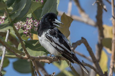 Pied Butcherbird (Cracticus nigrogularis) - Cumberland Dam (Georgetown), Queensland