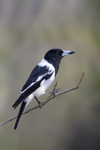 Pied Butcherbird (Cracticus nigrogularis) -Birds on Barron (Mareeba), Queensland