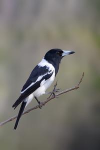 Pied Butcherbird (Cracticus nigrogularis) -Birds on Barron (Mareeba), Queensland