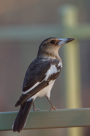 Pied Butcherbird (Cracticus nigrogularis) - Timber Creek, Northern Territory