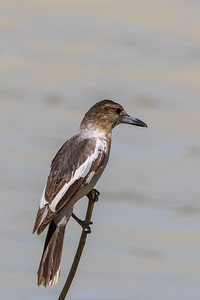 Pied Butcherbird (Cracticus nigrogularis) - Camooweal, Queensland
