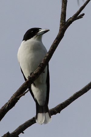 Silver-backed Butcherbird (Cracticus argenteus) - Litchfield National Park, Northern Territory