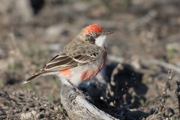 Crimson Chat (Epthianura tricolor) - Bowra (Cunnamulla), Queensland