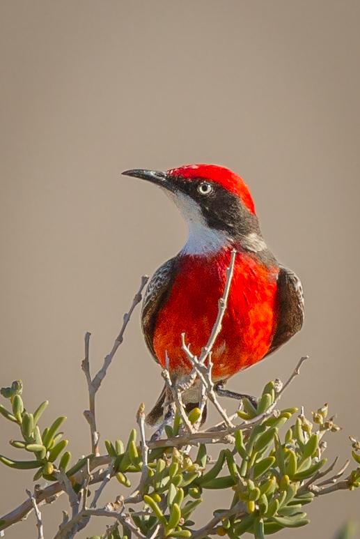 Crimson Chat (Epthianura tricolor) - Lake Eyre, South Australia