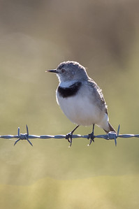 White-fronted Chat (Epthianura albifrons) - Lake Cargelligo, New South Wales