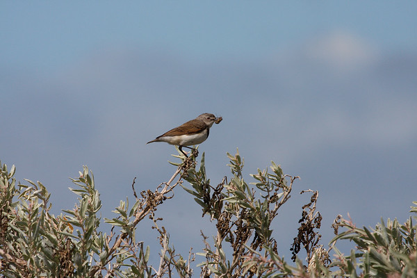 White-fronted Chat - Female (Epthianura albifrons) - Werribee Treatment Plant, Victoria