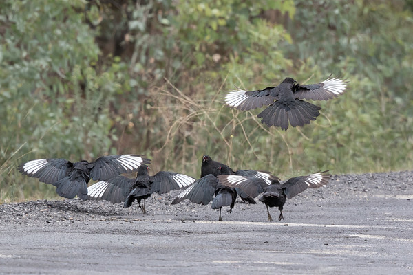 White-winged Chough (Corcorax melanorhamphos) - Capertee Valley, New South Wales