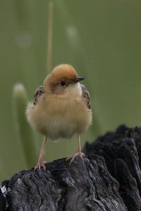 Golden-headed Cisticola (Cisticola exilis) - Winton Wetlands, Victoria