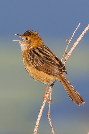 Golden-headed Cisticola (Cisticola exilis) - Fogg Dam, Northern Territory