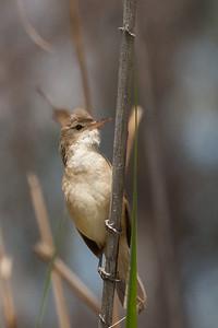 Australian (Clamorous) Reed-Warbler (Acrocephalus australis) - Echuca, Victoria