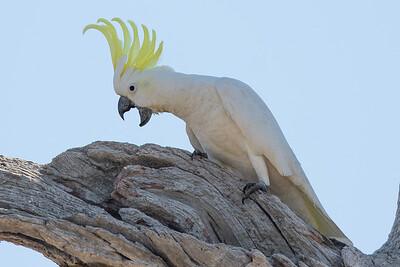 Sulphur-crested Cockatoo (Cacatua galerita) - Winton Wetlands, Victoria