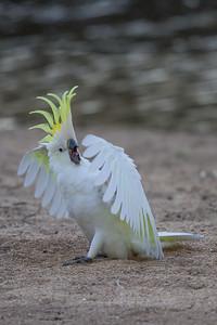 Sulphur-crested Cockatoo (Cacatua galerita) - Euroa, Victoria