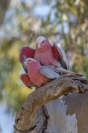 Galah (Eolophus roseicapilla) - Burra Creek Gorge (Worlds End), South Australia