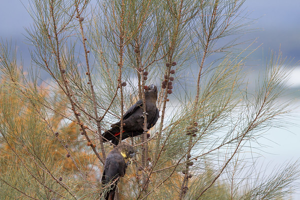 Glossy Black-Cockatoo (Calyptorhynchus lathami) - American River (Kangaroo Island), South Australia