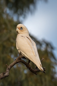 Little Corella (Cacatua sanguinea) - Burra Creek Gorge (Worlds End), South Australia